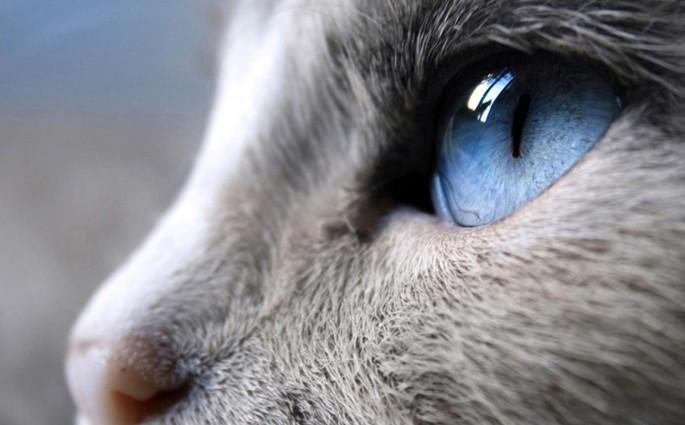 Occhi-azzurri-gatto