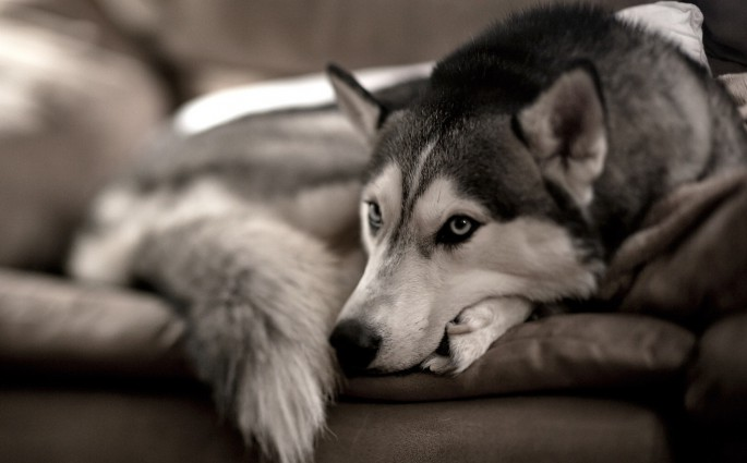 dog_husky_sofa_72136_1920x1080